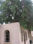3. Copacul Sf Efrem Sirul, Wadi Natrun Egipt, Man Sirienilor