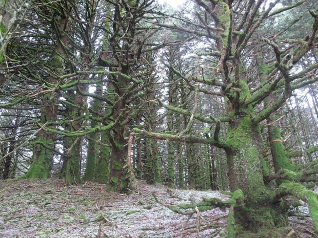 10 teribila padure de pini ( spruce) Nilus Island Alaska