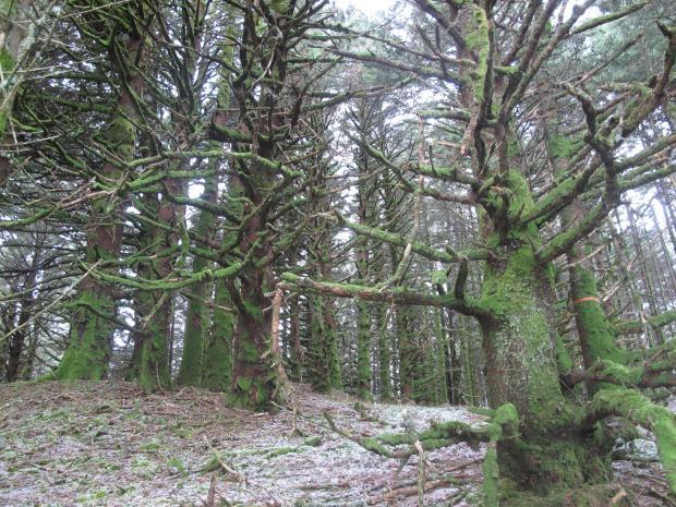 Padure de pini, Spruce Island, Alaska/Kodiak