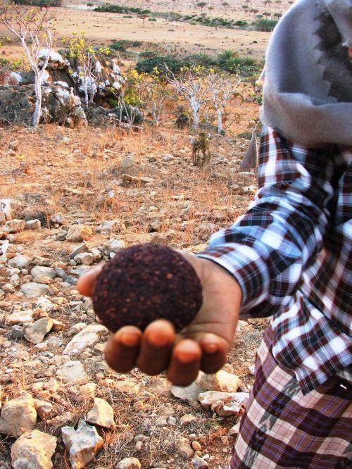 Abdullah, ghidul nostru din Socotra. Rasina de arborele Sangele Dragonului 1
