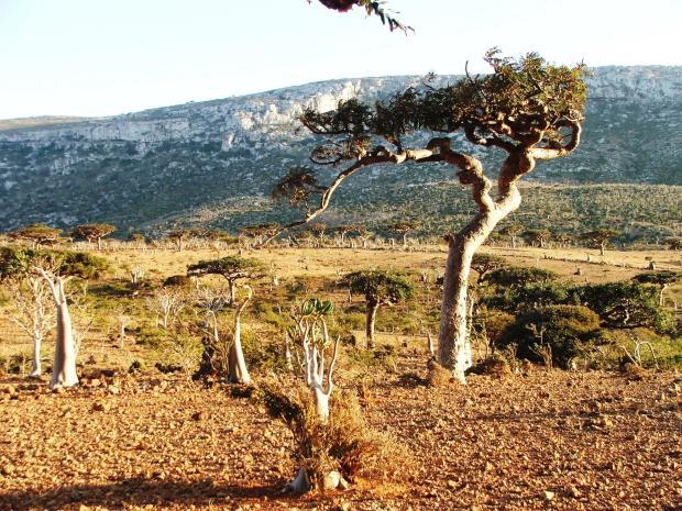arbore de tamaie 1