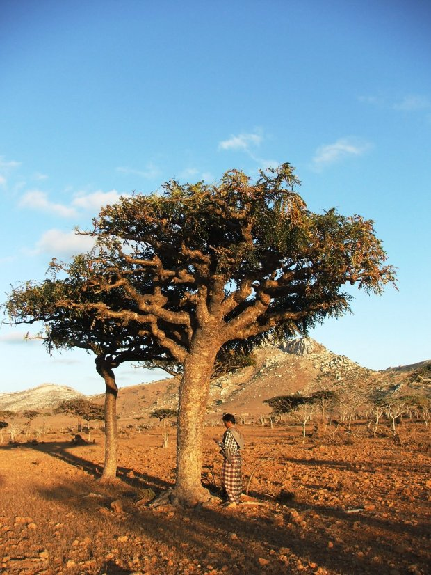 arborele de tamaie 3