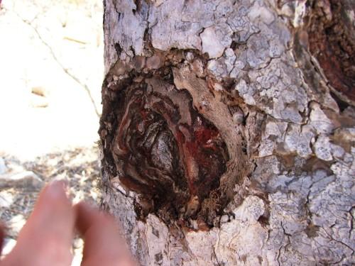 rasina de la arborele Sangele Dragonului