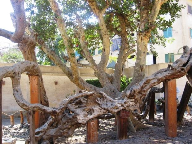 28 Matariyah, Copacul Fecioarei Maria